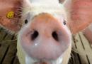 Zur Bundestagswahl: Die AFD und andere Schweinereien